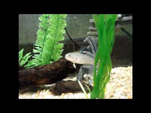 Knight Goby and dwarf frog feeding