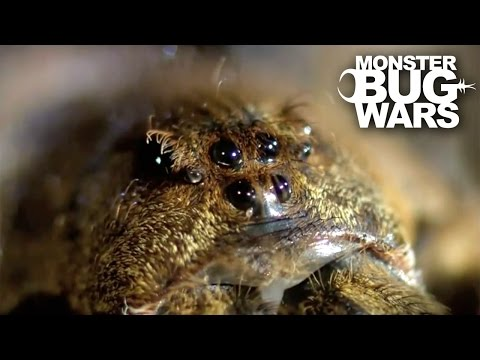 Mangrove Tree Crab vs Leopard Wandering Spider | MONSTER BUG WARS