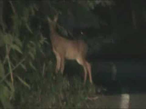 Roe Deer Fawn / Red Fox
