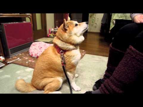 這隻柴犬最喜歡主人摸摸頭的感覺,所以每次當主人把手收回的時候牠都會使出溫柔撒嬌絕招讓主人從了牠!