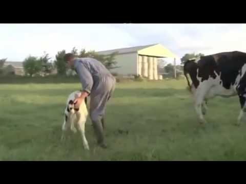Separazione di una madre dal suo piccolo - Le mostruosità dell'industria del latte