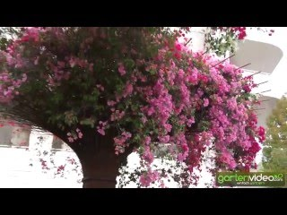 #984 Central Garden - Die Bougainvillea Skulpturen