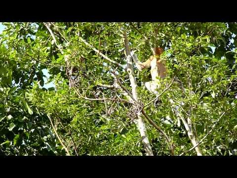 Video Proboscis Monkey Business download in MP3, 3GP, MP4, WEBM, AVI, FLV January 2017