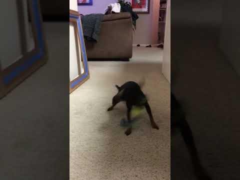 Koira ei malta pudottaa leluaan