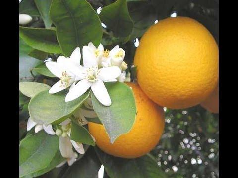 piante di arancio, belle e resistenti
