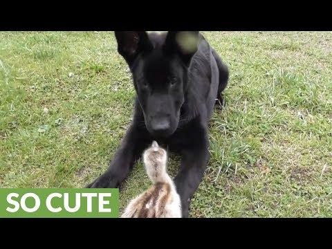 il-cucciolo-di-pastore-tedesco-e-il-piccolo-di-nandu