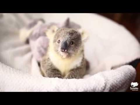un piccolo koala abbandonato