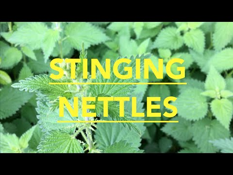 How To Prepare Stinging Nettles