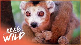 Crowned Lemurs And The Crocodile Caves [Survival Documentary] | Wild Things