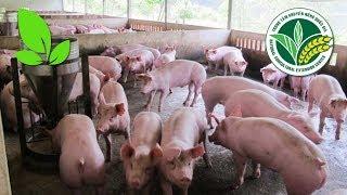 Chăn nuôi lợn | Chăn nuôi lợn an toàn dịch bệnh hướng tới xuất khẩu