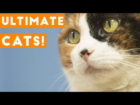 Try Not to Laugh Ultimate Cat and Kitten Compilation 2018 | Funny Pet Videos