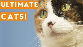 Video Try Not to Laugh Ultimate Cat and Kitten Compilation 2018 | Funny Pet Videos MP3, 3GP, MP4, WEBM, AVI, FLV Januari 2019