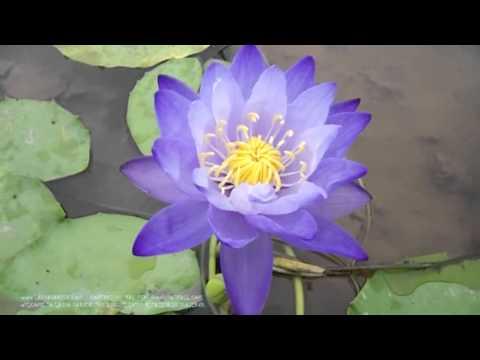 gigantea violacea from ladda