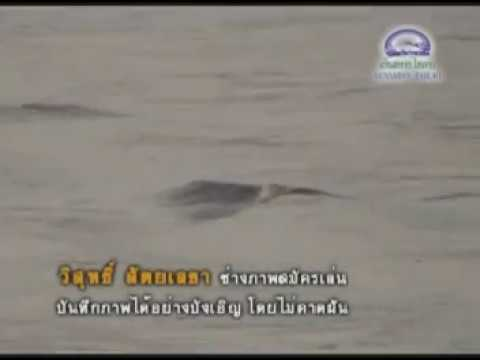 พยานาค แม่น้ำโขง - Lake Serpent/Ogopogo of Thailand...found in Mekong River.