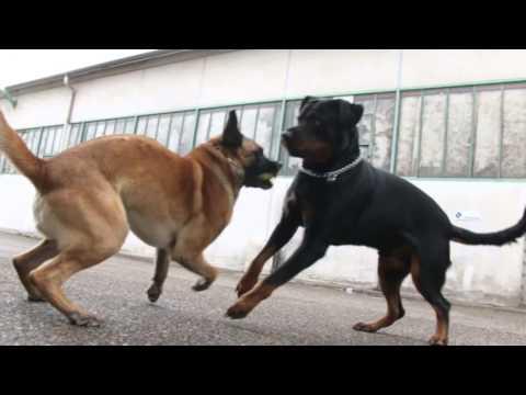 rottweiler vs cane da pastore belga - due cani al confronto