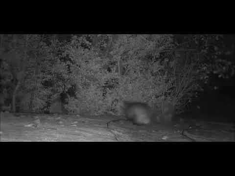 Комичная погоня барсука за лисицей попала на видеокамеру в США