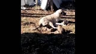 Anne köpek