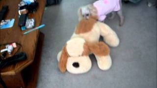Daisy Funny Toy Poodle Attacks Stuffed Dog Toy June 30 2011 Linda Randall
