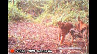 Download Video Jelajah Bumi Pertiwi - Save Sumatran Tiger MP3 3GP MP4