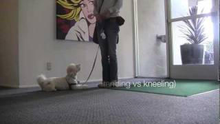 Maltese Poodle: Obedience Training, Train Your Dog To Heel On Leash
