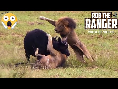 Male Lions Attack Buffalo! Unbelievable!  (Epic Lion vs Buffalo Action Highlights!) (видео)