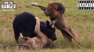 Incredible Sighting As Male Lions Ambush Buffalo! (Epic Lion vs Buffalo Action Highlights!)