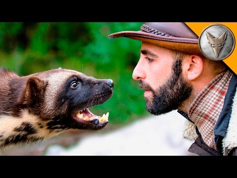 Coyote Peterson s Wolverine FaceOff