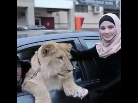 Настоящий лев разгуливает по Махачкале