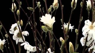 Timelapse Flowers: Magnolia Stellata blooming