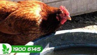 Chăn nuôi gà | Phòng trị bệnh hô hấp cho gà trong vài bước