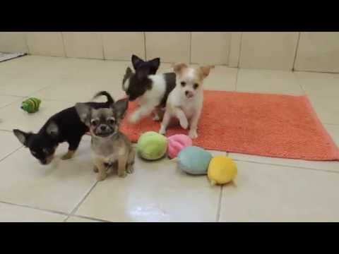 Elevage Chihuahua de la vallée des châteaux – Chiots Chihuahua disponibles