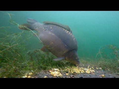 Karpers onderwater gefilmd op Tsjechische grindput