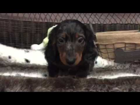 Handsome, AKC dapple, long hair Mini Dachshund