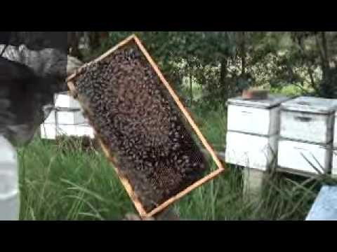 Beekeeping Field Trip: Queenless Hive Part 2.