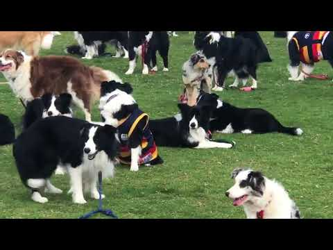 600 Border Collies Gather in Attempt to Break World Record