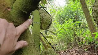 Cành đực - Biểu hiện cây nội sinh cao