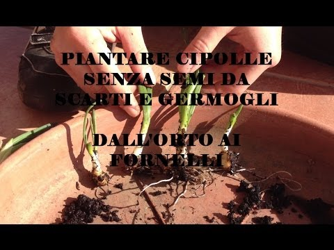 piantare cipolle senza semi dagli scarti e dai germogli