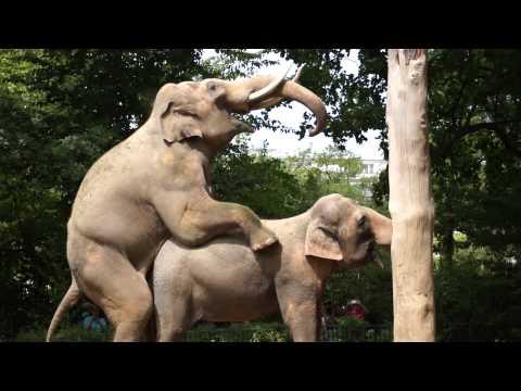 סקס עים חיות - צילום נדיר של פילים עושים אהבה בגן החיות בברלין - העברת הסרט לקובץ MP4 נעשתה במעבדות לינוף אבן גבירול 12 תל אביב.