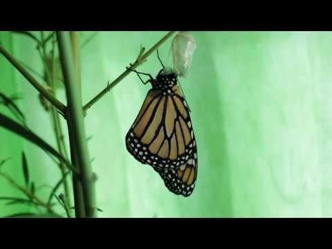 Monarch Butterfly Metamorphosis Transition Draft (видео)