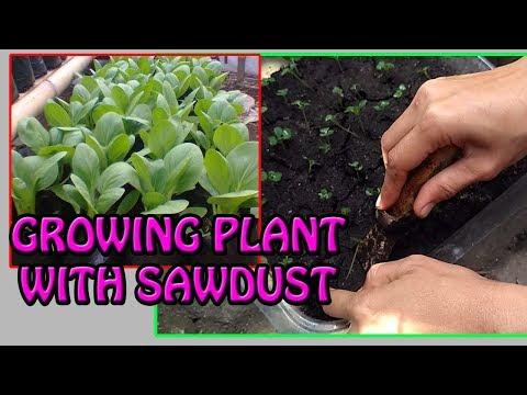 Download Video # TIS # CARA MUDAH Tanam Sawi Dgn Serbuk Gergaji [How To Garden With Sawdust]