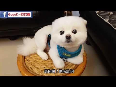 狗狗做错事耳朵往哪躲