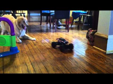 golden retriever vs rc car