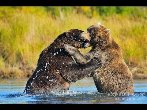 2 Male Grizzly Bears Fighting