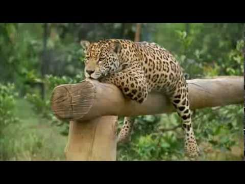 jaguar - Jaguars Born Free BBC Natural World Jaguars Born Free Natural World Special full documentary 2013 In this Natural World special, three tiny orphaned jaguar c...