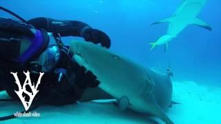 どうぞモフってくだせぇ!ダイバーにかまってほしいサメの懐きっぷり