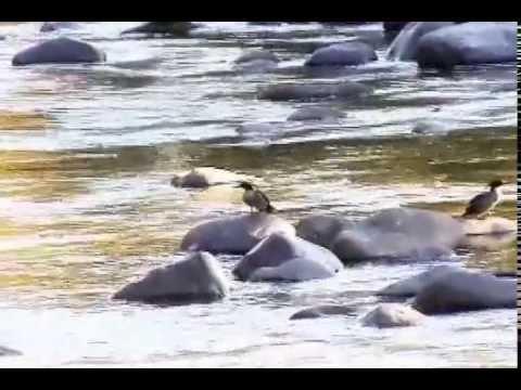 RPPN  Campo Alegre - Pato Mergulhão