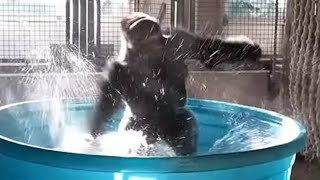 Zola the Gorilla does 'Flashdance' in a Kiddie Pool