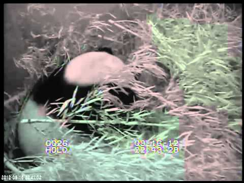 Veterinarian Marketing: Footage of giant panda birth at the Smithsonian's National Zoo