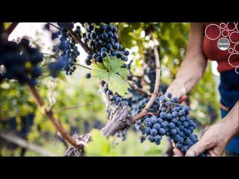 Weinland Südtirol - Arbeit im Weinberg