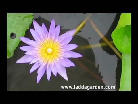 Nymhaea Bagdad waterlily